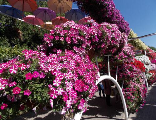 Ako si vypestovať vodopády kvetov na vlastnom balkóne?